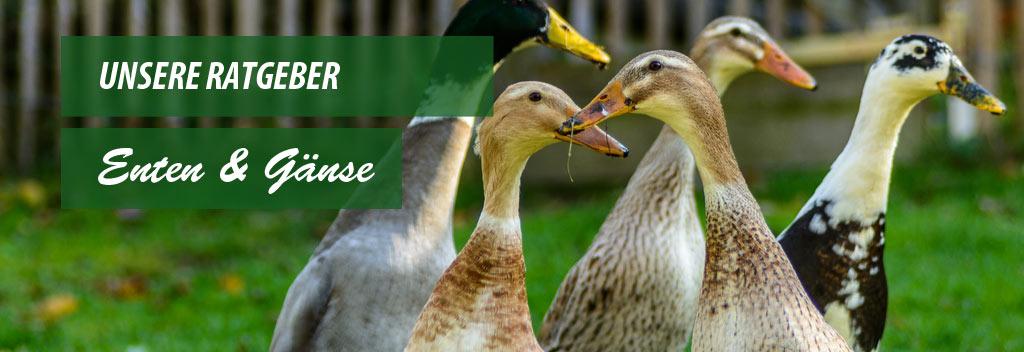 Der ultimative Ratgeber zum Thema Enten & Gänse